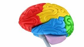 Móżdżkowi lobes w różnych kolorach odizolowywających royalty ilustracja