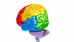 Móżdżkowi lobes w różnych kolorach odizolowywających na bielu ilustracja wektor