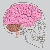 Móżdżkowy czaszka wektor Royalty Ilustracja