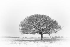 Móżdżkowy drzewo Fotografia Royalty Free