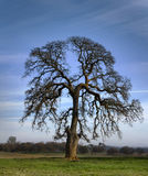 Móżdżkowy drzewo - paśnika dąb obrazy stock