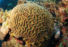 Móżdżkowy koral zdjęcia royalty free