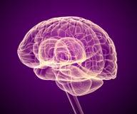 Móżdżkowy lobe i cerebellum, na bielu ilustracja wektor