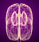 Móżdżkowy lobe i cerebellum, na bielu royalty ilustracja