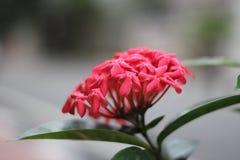 Mój Ładny Czerwony kwiat na ogródzie fotografia stock