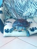 Mój żółw Fotografia Stock