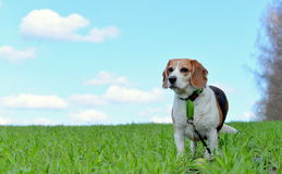 Mój Beagle obraz stock