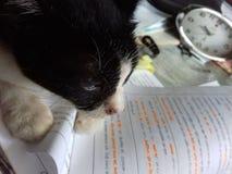 Mój kot na mój stole Fotografia Royalty Free