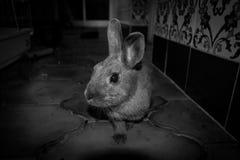 Mój królik pośpieszny w czarny i biały Zdjęcia Stock