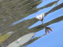 Mój krajowy kwiat zdjęcie stock
