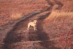 Mój Labrador Retriever Obrazy Royalty Free