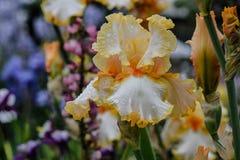 Mój Mój Brodatego irysa kwiat Obrazy Stock