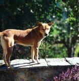 Mój piękny zwierzę domowe Jacky Zdjęcie Stock