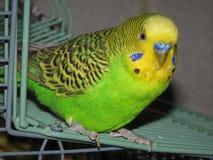 Mój ptak da Formułuje na jego klatce mówić Cześć zdjęcia royalty free