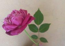 Mój 40 roczniaka różany krzak Obrazy Royalty Free