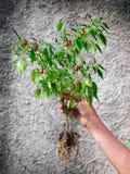 Mój Tabasco roślina Obraz Stock
