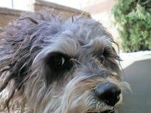 Mój Terrier pudla Cuddles Zamknięty Up widok fotografia royalty free