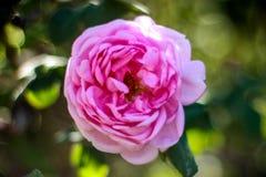 Mój ulubiony kwiat jest różowy wzrastał na jasnym dniu fotografia royalty free