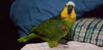 Mój urocza papuga zdjęcie royalty free