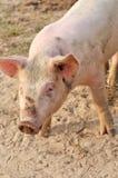 Mój świnia Obrazy Royalty Free