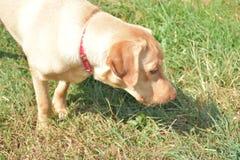 Mój zwierzęcia domowego dudley labrador w naturze Zdjęcia Stock