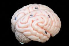 mózg Zdjęcie Stock