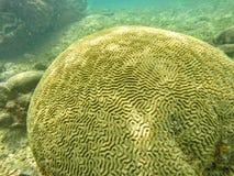 Mózg kształtny koral zdjęcie stock