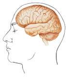 Mózg - W konteksta Bocznym widoku ilustracji