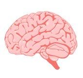 mózg widok różowy boczny Zdjęcia Royalty Free
