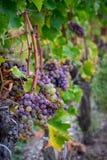 Mögliga grupper av söta vita druvor av sauternars arkivfoto