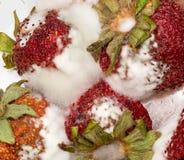 Mögliga jordgubbar i makroclose upp Arkivfoto
