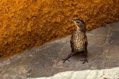 Möjligheten vaggar den pipit- eller för sångtrasten fågeln från Baeza, Andalusia, S royaltyfri fotografi