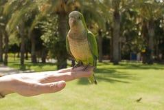 Mönch Parakeets auf Hand des Mannes Stockfotos