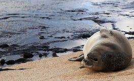 Mönch Seal Niihau Hawaii durch reflektierendes Pool Lizenzfreie Stockfotografie