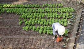Mönch wachsen Gemüse Stockbilder