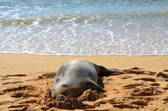 Mönchsrobbe, die auf dem Strand stillsteht stockfotografie