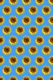 mönstrad solrosen arkivfoton