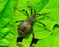 Mördare Bug Royaltyfri Fotografi