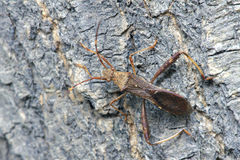 Mördare Bug Arkivfoton