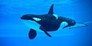 Mörder-Wal stockfoto