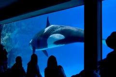Mörder-Wal im Becken lizenzfreies stockfoto