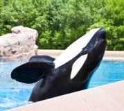 Mörder-Wale stockbild