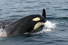 Mörder-Wale Stockfoto