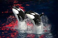Mörder-Wale Stockbilder