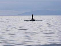 Mörder whale's Flosse Lizenzfreie Stockfotografie
