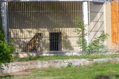 Mördertiger in Breslau-Zoo Stockbild