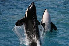 Mörderwale Lizenzfreies Stockfoto