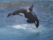 Mörderwalherausspringen des Wassers Lizenzfreies Stockbild
