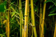 Mörk bambu Arkivfoto