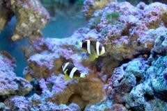 Mörk clownfisk Arkivfoto